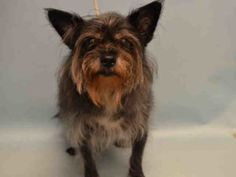Manhattan Center DALILAH – A1085618  FEMALE, BLACK / BROWN, YORKSHIRE TERR MIX, 5 yrs OWNER SUR – EVALUATE, NO HOLD Reason NO TIME Intake condition UNSPECIFIE Intake Date 08/16/2016, From NY 10460, DueOut Date 08/16/2016,