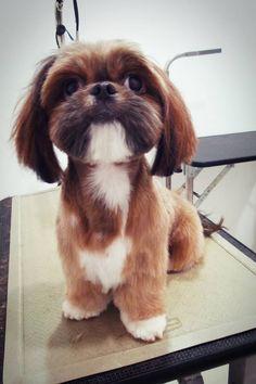 Shih tzu's cute hair cut!