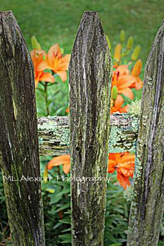 Lilies and an old Fence ~ Photography #Garden #Flowers