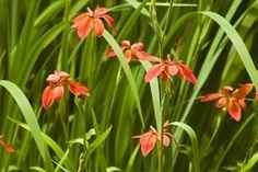 Iris fulva, copper iris or red iris.  So pretty!
