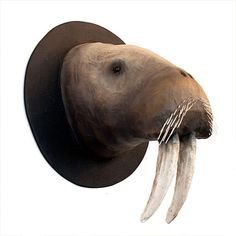 Paper Mache Walrus Taxidermy Mount
