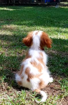 Waiting for my sister King Charles Dog, King Charles Spaniel, Cavalier King Charles, Animals And Pets, Baby Animals, Cute Animals, Beautiful Creatures, Animals Beautiful, Cute Puppies