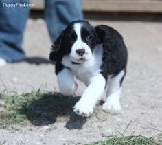 English springer spaniel puppy. Aww, sweet memories!