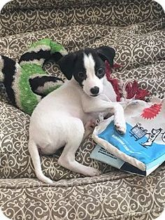 Staten Island, NY - Chihuahua Mix. Meet Clyde, a puppy for adoption. http://www.adoptapet.com/pet/16862087-staten-island-new-york-chihuahua-mix