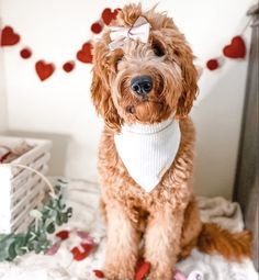 The Deluxe Pup   Goldendoodle photo   Valentines day photoshoot New Product, Product Launch, Goldendoodle, Dog Accessories, Dog Photos, New Beginnings, Hand Stitching, Magnolia, Pup