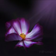 Cosmos Parade Photographic Print by Philippe Sainte-Laudy - AllPosters.co.uk