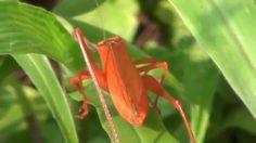 The Rare Orange Morph Katydid - Close-up