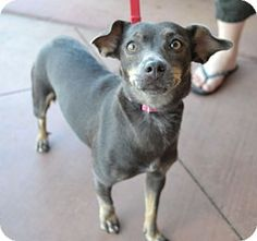 Chandler, AZ - Dachshund/Chihuahua Mix. Meet Baby, a dog for adoption. http://www.adoptapet.com/pet/11450371-chandler-arizona-dachshund-mix