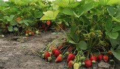 Moje jahody boli malé a málo sladké a po odtrhnutí sa rýchlo kazili. Potom mi susedka poradila tieto triky a odvtedy vyzerajú ako z učebnice! | Báječné Ženy Rubrics, Hula, Strawberry, Fruit, Nature, Plants, Gardening, English, Ideas