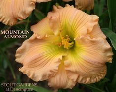 """(Billingslea 1991) ht 21"""", bloom 6"""", M, SEv, Diploid, Fragrant Flowers: Almond peach self with green throat. (SMOKY MOUNTAIN AUTUMN X ELSIE SPALDING) DAYLILIES SHIP MAY- JUNE and AUGUST- SEPTEMBER DEP"""