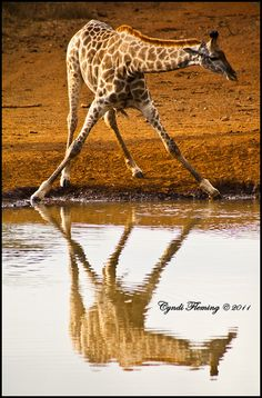 I love to play with reflections. This photo was taken at Thanda Private Game Reserve in KwaZulu-Natal, South Africa while I was working for Alvarez Stewart Impact African Impact, Durban South Africa, African Proverb, Private Games, Kwazulu Natal, Out Of Africa, Game Reserve, African Animals, Nature Reserve
