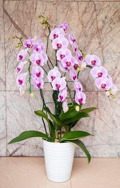 Orchidej Orchideje nemají v lásce příliš častou zálivku. Ideální je, když je…