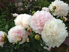 How to grow great peonies