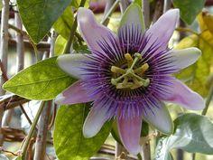 Cambridge, England: Botanic Garden: Passion Flower (Passiflora x bellotti)