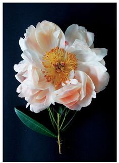 pale pink + white peony