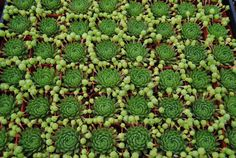 Hens and Chicks  (Sempervivums)