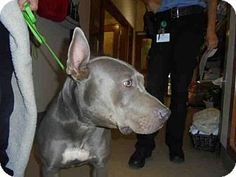 PATTY - A047777 - URGENT - Upland Animal Services in Upland, California - ADOPT OR FOSTER - Adult Female Pit Bull Terrier