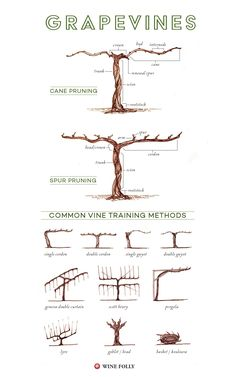 Parts of a grape vine, training and pruning methods #Wine #Wineducation