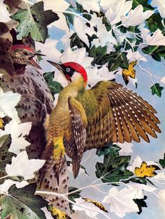 Basil Ede Green Woodpecker with baby Green Woodpecker, Spotted Woodpecker, Colour Pencil Shading, Zoo Art, Scenery Paintings, Bird Artwork, Bird Illustration, Vintage Birds, Colorful Birds