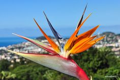 """""""The Bird of Paradise""""   Taken on a recent holiday in Madeir…   Flickr Paradise Flowers, Exotic Flowers, Love Birds, Botanical Gardens, Holiday, Plants, Image, Beautiful, Wood"""