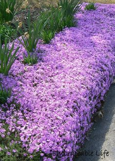 (Creeping Phlox) Plant in rock borders, Great for sunny slop, Great as a ground cover for erosion control. Prefers slightly dry soil. Plant with Red Oak Tree and Mulch in Winter with dry leaves. Beautiful Gardens, Beautiful Flowers, Moss Phlox, Phlox Plant, Red Oak Tree, Creeping Phlox, Creeping Thyme, Erosion Control, Hummingbird Garden