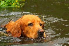 Sagaciousness while taking a bath - Hovawart Boef