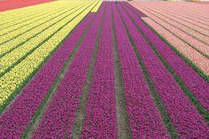 カラフルな色彩の帯が広がるオランダの花畑の美麗写真 - GIGAZINE