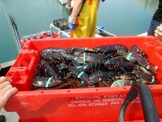 Some fine lobster