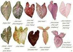 Alocasia Plant, Sansevieria Plant, Pothos Plant, Indoor Shade Plants, Leaf Identification, Arrowhead Plant, Variegated Plants, House Plants Decor, Plant Pictures