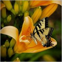 old world swallowtail butterfly flying insect