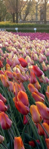 these are #tulips right ?