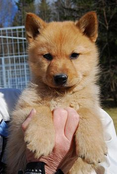 Finnish Spitz puppy -i have an adult and he is absolutley beautiful