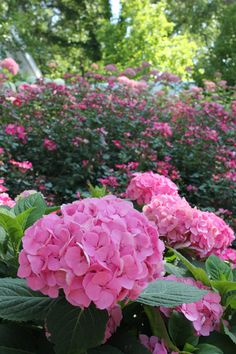 Small slopes become carpets of blooms when you choose three plants (here, Let's Dance Moonlight hydrangea, Pink Home Run rose, and Invincibelle Spirit hydrangea) and plant them in multiples. Layer them based on height for big impact from any direction!