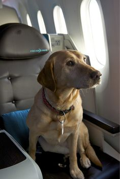 #Zachi the dog on Boeing 787  Like,Repin,Share, Thanks!