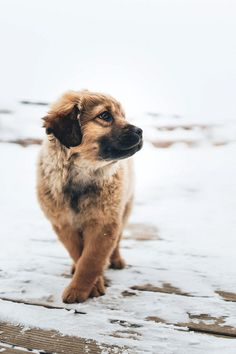 Dogs and Puppies : Dogs – Image : Dogs and Puppies Photo – Description Luna . - Dogs and Puppies : Dogs – Image : Dogs and Puppies Photo – Description Luna Augustin Sharing is - Animals And Pets, Baby Animals, Funny Animals, Cute Animals, Cute Puppies, Cute Dogs, Dogs And Puppies, Labrador Puppies, Havanese Dogs