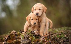 Télécharger fonds d'écran Golden Retriever, chiots, les labradors, les chiens, les animaux de compagnie, triste chiens Golden Retriever, Chien