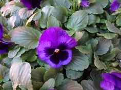 Pansy Delta Premium Deep Blue with Blotch