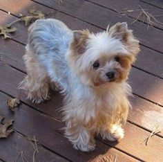 Ellie is an adoptable Yorkshire Terrier Yorkie Dog in Taunton, MA. Ellie is a tiny 5lb 5yo female Yorkie who needed to relocate because of allergies. She was living with a breeder down South but the v...