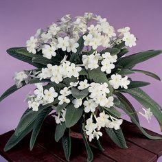 White Flowering House Plants falling stars' streptocarpus | houseplants - gesneriads