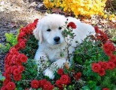 golden retriever puppy with roses.