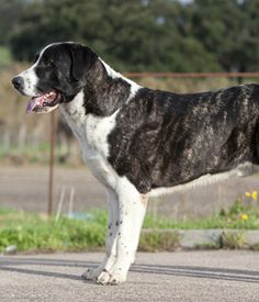 Rafeiro do Alentejo. Get a Free Consultation for your #dog from our Friends at Nature's Select #Petfood http://naturalpetfooddelivery.com/nsd/usa/free-consultation/