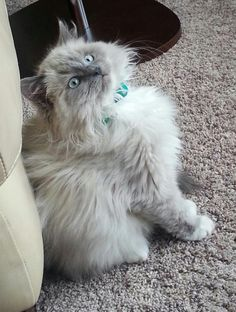 Blue Mitted Mink Ragdoll kitten - this is my baby Stitch! Such a great personality and so soft and does not shed at all!!