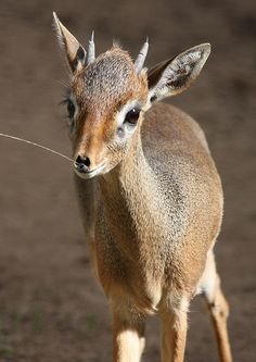 Dik-Dik: There are 4 species of dik-dik, all native to the grasslands of southern Africa. Similar to a mini antelope, they grow to a foot tall at the shoulder. Unlike other antelope, they do not live in herds, but form monogamous pairs that stand guard over their own territory. via smithsonianmag.org #Dik_Dik #smithsonianmag