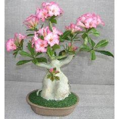 LOVE flowering bonsai trees