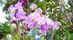 Dendrobium spp. - Dendrobium..Dendrobium spp. Dendrobium Desarrolla un gran pseudobulbo del que sale un tallo parecido a una caña de aproximadamente 30 cm cubierta de pelos blancos. Con hojas cortas y ovadas dispuestas alternativamente a lo largo del tallo. La inflorescencia se agrupa en ramilletes cortos con una o dos flores, éstas pueden ser pequeñas, vistosas y grandes. Estás orquídeas se […]