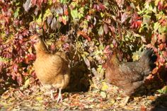 Hens blending perfectly into Autumn