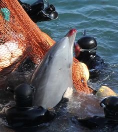 The cruel sea: A dolphin selected for sale last month in Japan. Others that are 'not suitable' are killed