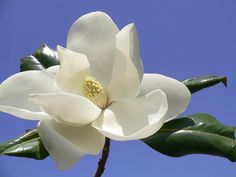 Magnolia - can you believe some of these flowers can be 10 to 12 inches across?