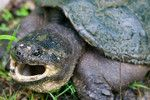 Herps of Arkansas: Snapping Turtles