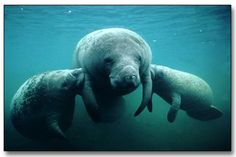 The Amazonian manatee occurs exclusively in fresh water habitats of the Amazon River and its tributaries. Description from tylyenglish7.wikispaces.com. I searched for this on bing.com/images